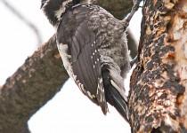 American-3-Toed-Woodpecker-Elden-Burn-8-11-12-2-200PI