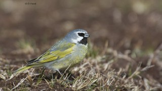 Black-Throated-Finch-male
