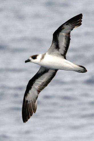 Far-flying Black-capped Petrel visits marine habitats of 14 nations