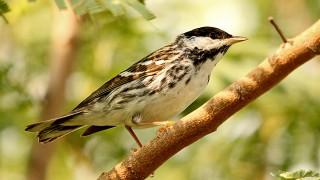 Blackpole-Warbler-Convention-Center-5-3-12-3-200PI