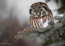 Boreal-Owl-2013-Day-04-101-BX-CR-NR-SM-1
