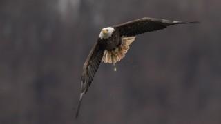 Conowingo-Eagle_X_DSC6472_1200