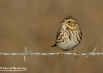 DSC0068-Savannah-Sparrow