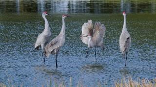 DSC0184-Sandhill-Cranes