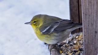 Pine Warbler, Old San Site, Saskatoon, Saskatchewan