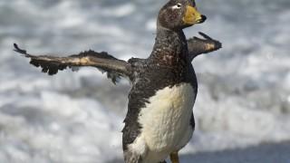 Falkland-Steamer-Duck