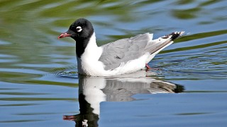 Franklins-Gull-Frances-Short-Pond-5-19-12-6-200PI