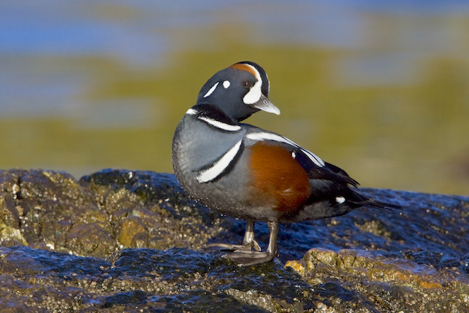 How a Harlequin Duck wintering in British Columbia landed on our cover