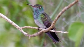 Honduran Emerald, August 10, 2006, by Dominic Sherony (Wikimedia Commons).