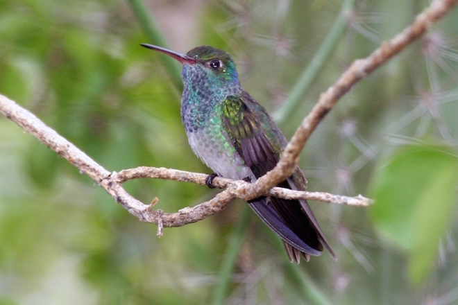 Eye on conservation: Refuge brightens future for rare hummingbird