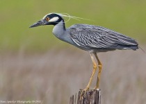 Night-Heron-Yellow-crowned-09-2941-Edit
