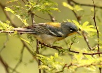 Northern-Parula-Convention-Center-5-2-12-3-200PI