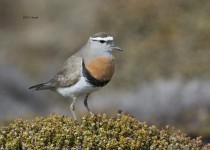 Rufous-chested-Dotterel-1