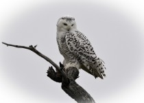 Snowy-Owl-Small-Nov-2015