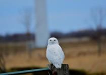 Snowy-Owl-on-Wolfe-Island