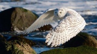 Snowy Owl at Rye, New Hampshire, January 21, 2015, by Kim Caruso.