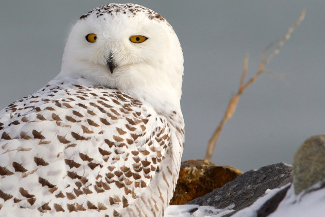 eBird maps show Snowy Owl's summer and winter ranges