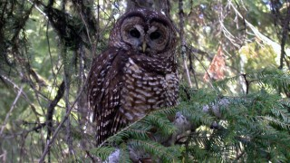 Northern Spotted Owl. Photo by Shane Jeffries/U.S. Forest Service (Creative Commons).
