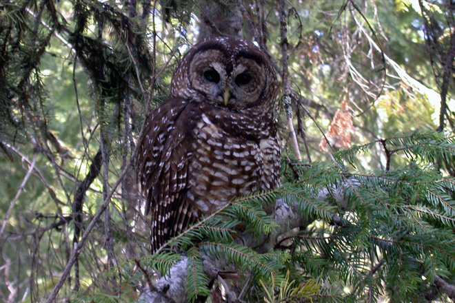 Despite success removing Barred Owls, Northern Spotted Owl continues to decline across its range