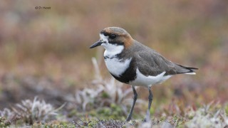 Two-banded-Plover