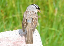 Yellowstone-white-crowned-sparrow-2