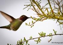annas-hummingbird-wm