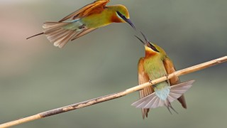 Blue-tailed Bee-eaters ©2015 Tahir Abbas
