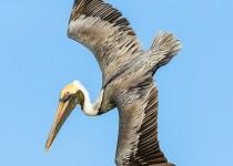 diving_pelican-0291