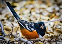 spotted-towhee5-wm