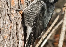BlackBacked-Woodpecker-2012-49-BX-CR-NR-SM-1