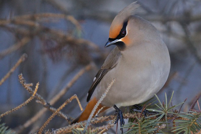 Where to look for Bohemian Waxwing in winter