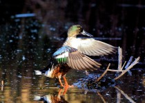 Duck_Northern-Shoveler-21-SW