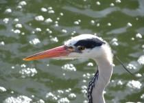 Grey-Heron-Kew-London-Heron