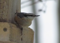 Nuthatch-Red-breast.-CNY