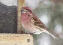 Purple-Finch-NY