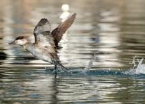 Ruddy-Duck-taking-flight