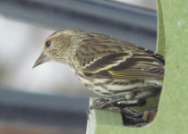 Siskin-lunch