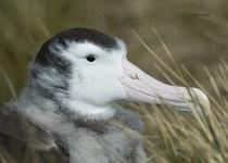 Wandering-Albatross-juvenile