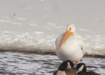 White-Pelican-.-Syracuse.web