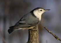 White-breasted-Nuthatch-Fish-Cr-Pk