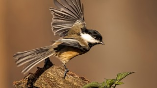 Black-capped Chickadee ©2015 Steve Donnelly