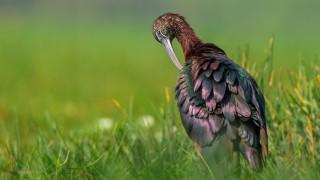 Glossy Ibis ©2015 Chandan Kumar Hazra