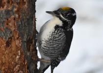 American-Three-toed-Woodpecker-Fish-Cr-Pk