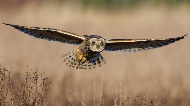 Reader photo: From a reliable spot for Short-eared Owl, a close-up of the grassland predator