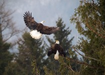 Bald-Eagles-01-BW