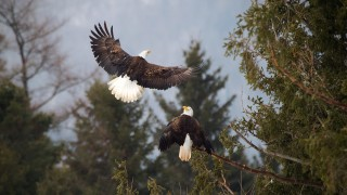 Bald-Eagles-01-BW