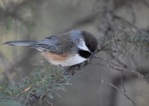 Boreal-Chickadee-Fish-Creek