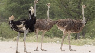 Common Ostriches in Etosha National Park, Namibia, by Yathin S. Krishnappa (Wikimedia Commons).
