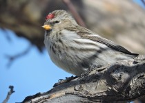 Common-Redpoll-Calgary