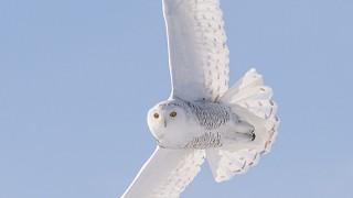Snowy Owl, female, near Delisle, Saskatchewan
